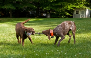 hershey-and-bailey-play-tug-of-war